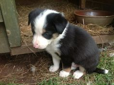 border collie pup so cute!