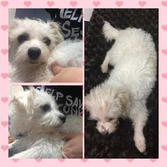 Found Dog - Maltipoo - Hialeah, FL, United States