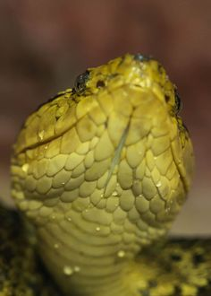 40 Bothrops Asper Facts: Guide to Fer de Lance (Terciopelo Viper) Explore the great outdoors to learn everything about reptiles! Ecuador Animals, All About Snakes, Pit Viper, Galapagos Islands, Predator, The Great Outdoors, Reptiles, Trip Planning