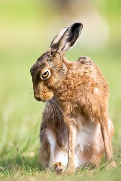 Summer Hare | Flickr - Peter Denness I'm not sure if he looks sad or evil.  So skinny!!!