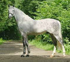 Polish warmblood stallion