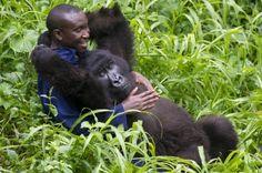 Parc national des Virunga - La belle complicité des gorilles et leurs gardiens