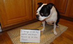 The 9 Ultimate Boston Terriers Of Dog Shaming