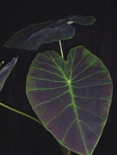 Colocasia esculenta cv. 'Black Magic'  Araceae    http://www.plantoftheweek.org/week330.shtml