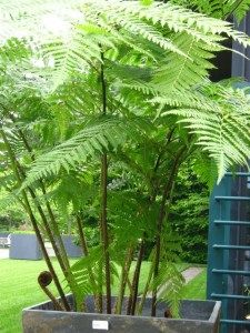 Instant Outdoor Room with large Australian Tree Fern art design landspacing to plant