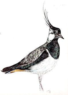 Lapwing illustration (c) Ella johnston