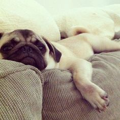 Mr. Pug says: S'up? I'm just chillin'