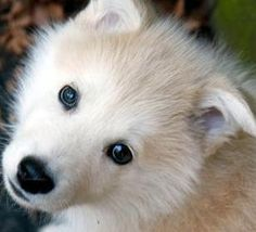 The white alaskan malamute needs alot of attention and stimulation in order be satisfied. Check out some images of the white malamute breed. Giant Alaskan Malamute, Alaskan Malamute Puppies, Malamute Husky, Alaskan Husky, Husky Dog, Most Beautiful Dogs, Huge Dogs, Fancy Cats, Cute Baby Animals