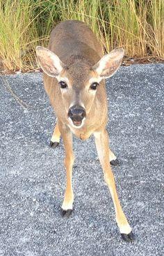 Photograph and enjoy the sweet small deer at the National Key Deer Refuge on Big Pine Key. Key West Florida, Florida Keys, Forever Florida, Big Pine Key, Small Deer, Key West Vacations, Dry Tortugas, Deer Family, Animals