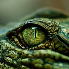 Lewis Carroll The Crocodile  How doth the little crocodile Improve his shining tail, And pour the waters of the Nile On every golden scale!  How cheerfully he seems to grin How neatly spreads his claws, And welcomes little fishes in, With gently smiling jaws!