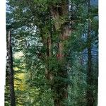 The first ever seamless photograph of an entire redwood tree