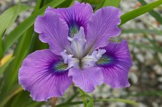 iris | pacific coast irises grow best in western climates with winter