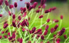 I have seeded this into my garden this year. I suspect it will be my 2014 plant of the year. I hope it flowers this year. Sanguisorba officinalis 'Red Thunder' c. Rachel Warne a Nurseryman's favorite and favored by Piet Oudolf sun- part sun
