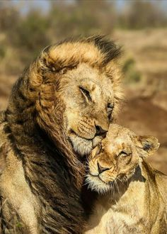 Lions are big proud hunters. Its not easy to conqier the heart of a lion but I thing if it's yours the it is love forever! Animals And Pets, Baby Animals, Funny Animals, Cute Animals, Beautiful Cats, Animals Beautiful, Romantic Animals, Big Cats, Cats And Kittens