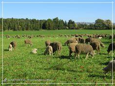 Quand le Printemps s'annonce, les moutons trépignent d'impatience à la Transhumance... http://mistoulinetmistouline.eklablog.com/mistoulin-mistouline-c-est-nous-p290513