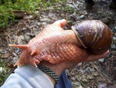 Planet Earth Phenomenon    The Giant Ghana Snail (Achatina achatina)