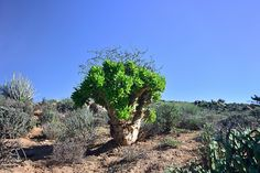 Tree, Richtersveld National Park, Unesco World Heritage site, Northern Cape, South Africa | by South African Tourism