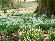 Snowdrops replant themselves and carpet the garden.