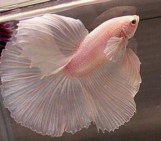 Pale Pink Betta Fish http://BettaFish.mobi
