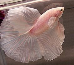 Pale Pink Betta Fish