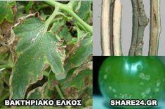 Αναγνωρίστε τις Ασθένειες της Ντομάτας και Αντιμετωπίστε τες με Βιολογικό Τρόπο! - share24.gr Eggplant, Vegetables, Tips, Plants, Eggplants, Vegetable Recipes, Plant, Veggies, Planets