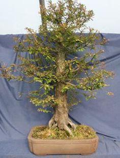 Bald Cypress Bonsai - Taxodium distichum