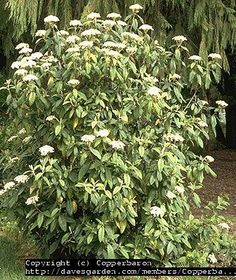 Works under Black Walnut - leather leaf viburnum -- good privacy, fast growing, evergreen. they bloom too. Garden Shrubs, Shade Garden, Planting Plan, Leather Leaf, Shade Perennials, Evergreen Shrubs, Landscaping Plants, All Plants, Hedges