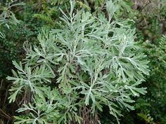 Wormwood - One Of The Best Known Of Medicinal Herbs - Herbal and natural medicine - Natural Medicine, Herbal Medicine, Chinese Medicine, Medicinal Weeds, Edible Wild Plants, Herbs For Health, Wild Edibles, Healing Herbs, Natural Healing