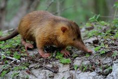 rhamphotheca: Hispaniolan Solenodon (Solenodon paradoxus) by Arkive staff The endangered Hispaniolan solenodon is solitary, nocturnal and rare, and so, unsurprisingly, are rarely seen. They are capable of climbing near-vertical surfaces but spend most of their time searching for food on the ground. They use their flexible snout to explore cracks and crevices, and their massive claws to dig under rocks, bark and soil, for invertebrates such as beetles, crickets, insect larvae, earthworms ...