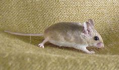 Oldfield mouse (Peromyscus polionotus)