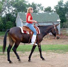 blue mule horse   Paint My Quarter Horse Ranch Farm Memories