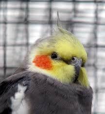 Smart Cockatiel - Or Is It? - Cockatiels As Pets