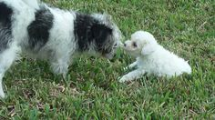 Chiquitito the chihuahua meets Sandy the poodle!