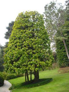 The magnificent Magnolia tree in Villa Carlotta.