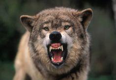 Snarling Grey wolf--146.jpg | James Gritz Photography