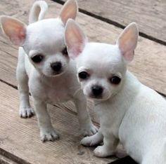 Snow White Chihuahua Puppies #Chihuahua