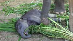 An adorable baby elephant sleeps on his mom's food until she wakes him up. Filmed at Thai Elephant Conservation Center in Lampang Province, Thailand.