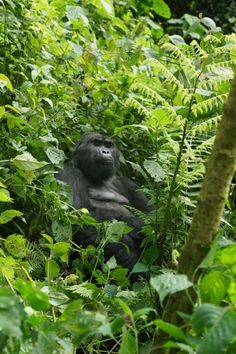 Mountain Gorilla in Bwindi National Park