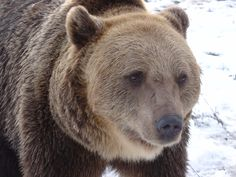 Viorel was first kept as a pet until his owners realised just how dangerous he was and gave them to an illegal zoo. When he came to the sanctuary it was the first time he had seen another bear Panda Bear, Polar Bear, World Animal Protection, We Bear, Arizona Usa, Cute Panda, Animal Welfare, Brown Bear, Teddy Bears