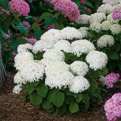 Compact Hydrangea with BIG BLOOMS. Buy Invincibelle Wee White hydrangea and fill your garden space with color for over months. Shop other shade plants, shade shrubs, perennials, and more! Dwarf Hydrangea, Smooth Hydrangea, Hydrangea Not Blooming, Hydrangea Flower, Hydrangeas, Hydrangea Garden, Hydrangea Quercifolia, Landscaping Plants, Gardens