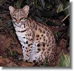 The Tiger Cat, also known as the Little Spotted Cat, Tiger Ocelot or Oncila, is grouped along with the Ocelot and Margay into the genus Leopardus. Of these three species of wild cat the tiger cat is by far the smallest similar to that of a domestic cat. Melanistic tiger cats are sometimes found in the dense equitorial forests of Southern Brazil. Little is known this small cat who lives in dense rain forests from Costa Rica,  Brazil, Colombia & Ecuador. It is listed as an endangered species.