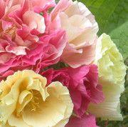 SÖMNTUTA 'Bridal Bouquet' – Fröer från Rara Växter