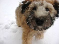 snowy wheaten nose