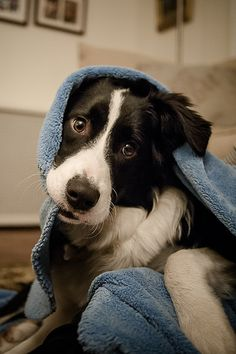 Both of my Border Collies love to play with a wet towel. They love to wrap themselves in them and scruff around on them, and they prefer to do it on a wet towel that you just used after your shower.