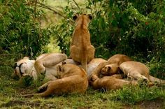 """Wild for Wildlife and Nature: by Wayne Sentman """"On safari in the Serengeti we came across this mother and her four cubs early in the morning. As we watched one of the cubs decided that mom was better a better lookout than any termite mound. Big Animals, Animals And Pets, Beautiful Cats, Animals Beautiful, Big Cats, Cats And Kittens, Lion And Lioness, Lion Cub, Lion Love"""