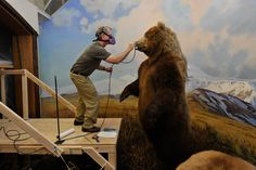 """amnhnyc:  """"…These really are considered the best in the world"""" says artist and naturalist Stephen C. Quinn of the stunning dioramas in the Museum's Hall of North American Mammals. An expert team of conservators and Museum artists led a masterful restoration of this historic hall, which first opened in 1942. Preview the incredible work that has gone into these dioramas in this videoand join us when the hall officially reopens on October 27. Image © AMNH/D. Finnin  Great video!"""