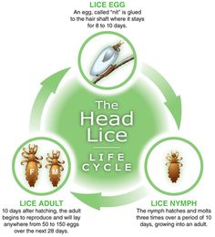 Life cycle of head lice. looking at this gives me the chills..