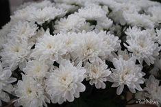 happy women's day…chrysanthemums White Wedding Flowers, White Flowers, Floral Wedding, Beautiful Flowers, Year Round Flowers, Crysanthemum, White Chrysanthemum, Cut Flower Garden, Flower Aesthetic