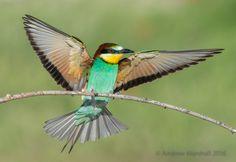 Adult European Bee-Eater (Merops apiaster)