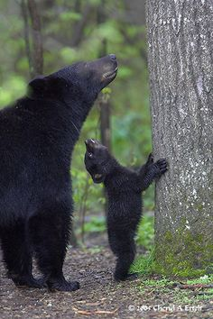 Black bear and her cub looking up at her